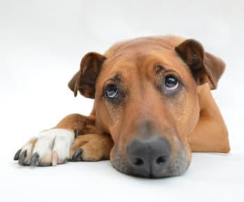 unwell sad looking dog