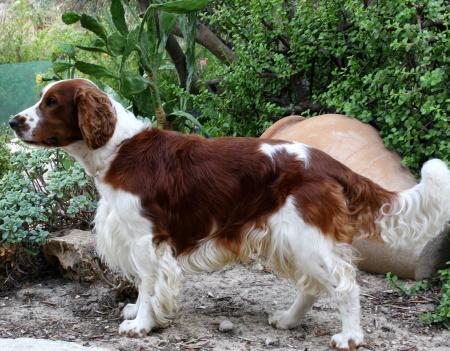 Welsh Springer spaniel dog standing outside in front of bushes