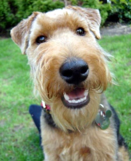 Welsh terrier portrait image