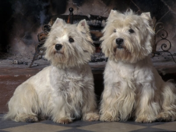 Link to Westie Picture at end of page