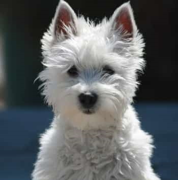 Westie dog portrait