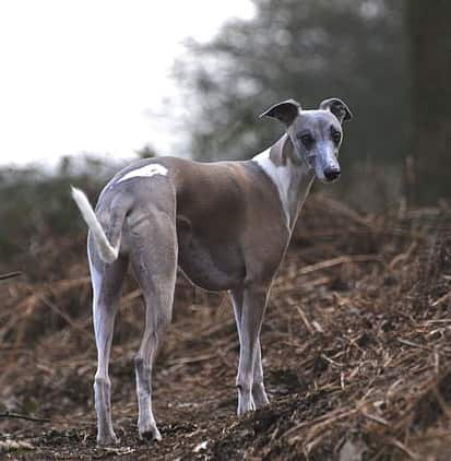 brown saddles whippet dog breed