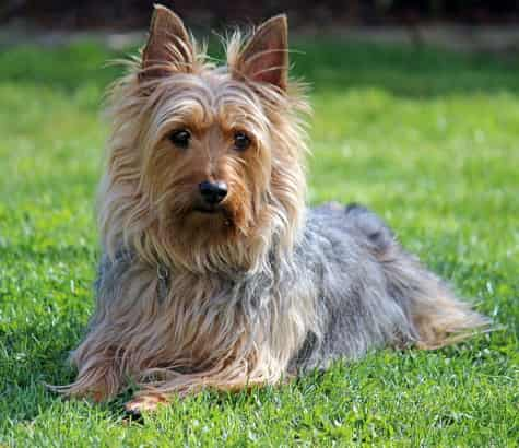 Silky Terrier lying in the grass looking forward