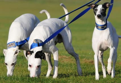 three while Whippets on leash in a field