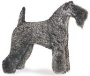 irish blue terrier, kerry blue terrier dog