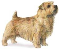 norfolk terrier wearing a coat and standing in the grass