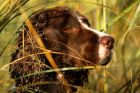 Spaniel in Duck Blind