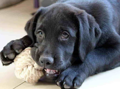 black puppy chewing on rope ball