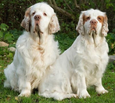 Two clumber spaniels sitting in the grass