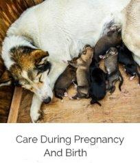 Dog Pregnancy