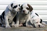 care of pregnant dog - boxer puppies