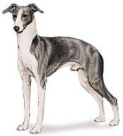 Miniature Italian Greyhound - toy dog breed