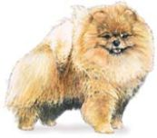 Toy Pomeranian dog