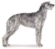 deer hound