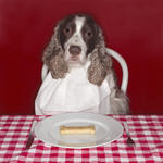 spaniel dog sitting at dining table