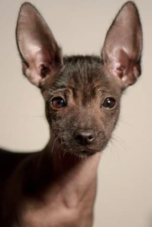 portrait of young Xoloitzcuintle dog